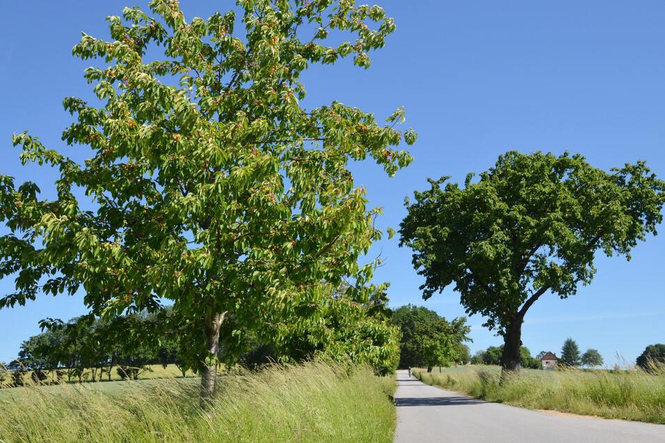 Bäume voller saftiger Früchtchen: Auf der Straße zwischen Königshain und Liebstein wachsen zahlreiche Kirschbäume.