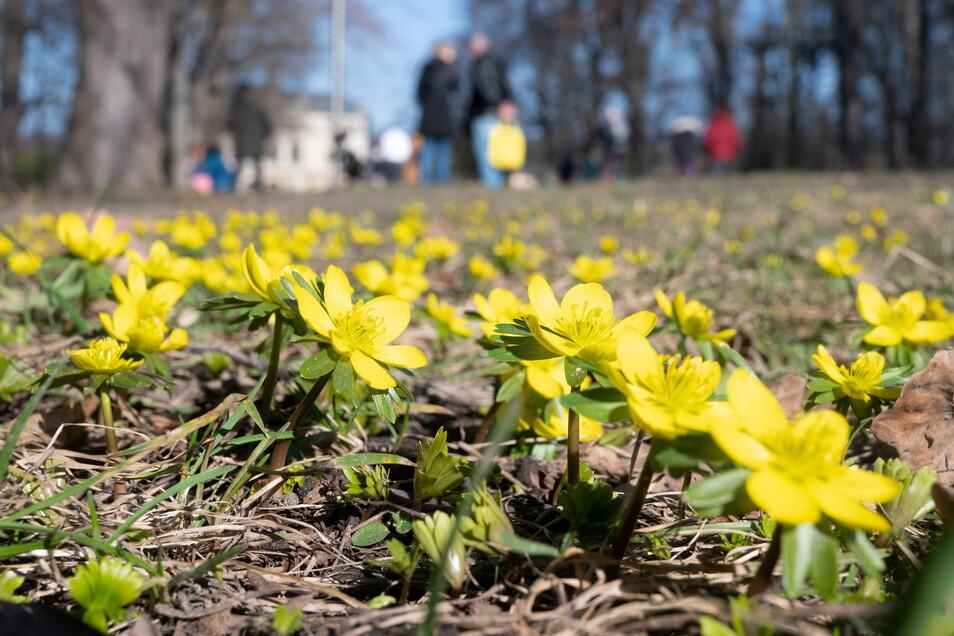 Gelbe Teppiche von Abertausenden Winterlingen haben am Wochenende die Vorfreude auf die erwachende Natur geweckt.