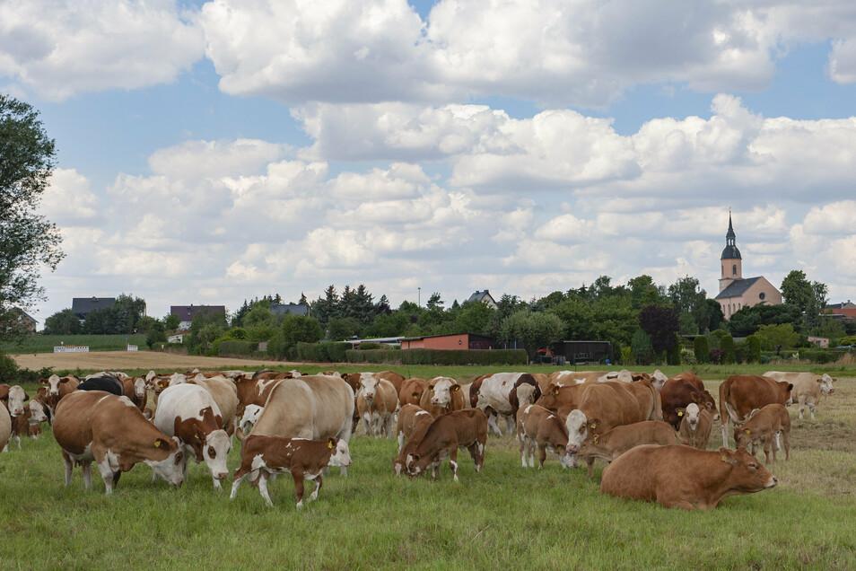 Friedlich grasen rund 60 Mutterkühe, deren Nachwuchs sowie zwei Deckbullen auf der Weide nahe Bauda. Doch hier wie auch bei der Schweinemast im Ort trügt die Idylle.