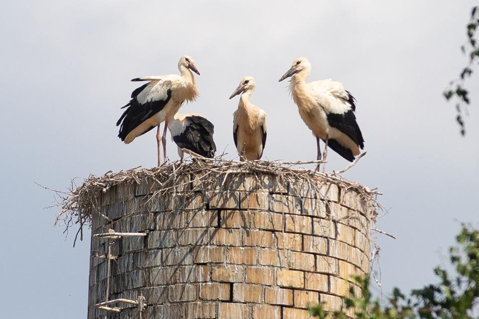 Vier hungrige Jungvögel warten auf dem Horst auf die Eltern, die ab der Morgendämmerung bis in den Abend Nahrund heranschaffen. Die gibt es reichlich rund um Neuwallwitz, wo die Vögel ihren Horst auf dem Stumpf einer alten Esse gebaut haben.