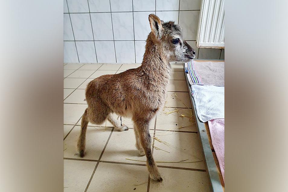 Auch dieses verwaiste Mufflonlamm kam zur Erstversorgung in die Possendorfer Tierarztpraxis.