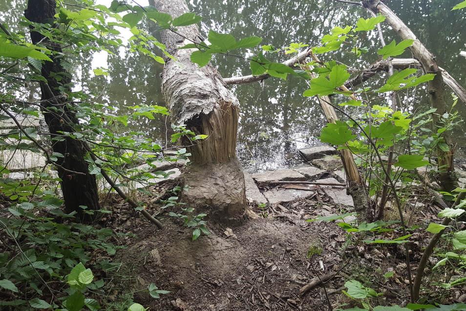 Durch einen Biber gefällter Baum am Görlitzer Volksbad.