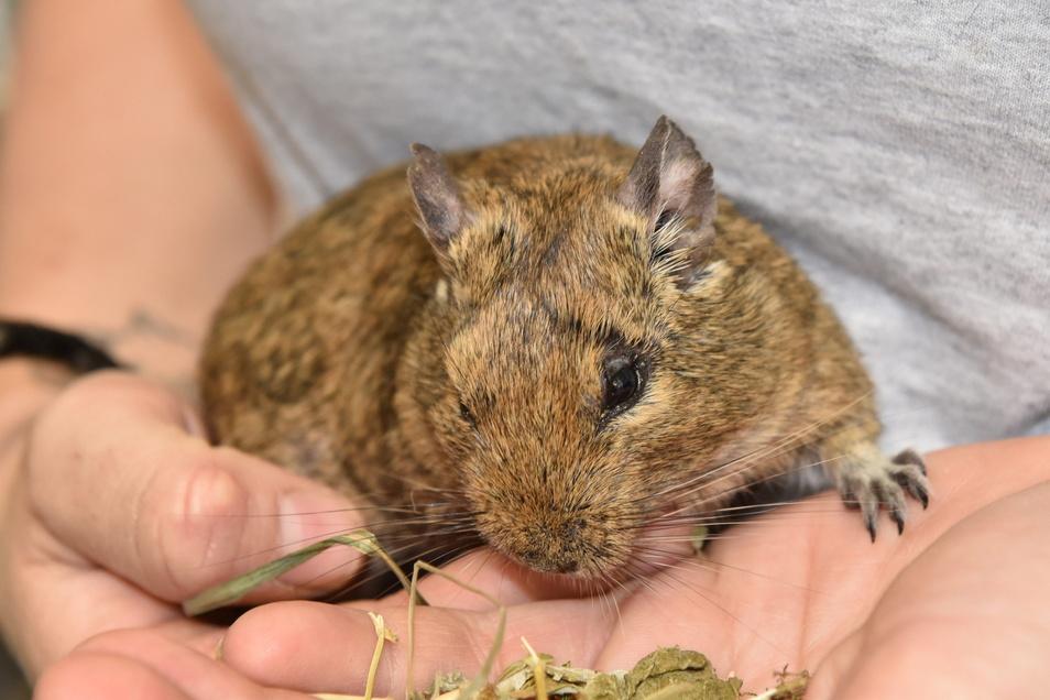 Diesen Degu hat die Veterinärbehörde im Osterzgebirge eingezogen. Er saß mit etwa 80 Artgenossen in einem viel zu kleinen Käfig.
