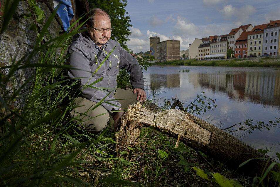 Biberexperte Kay Sbrzesny vom Landschaftspflegeverband Oberlausitz identifiziert Biberfraßspuren hinterm ehemaligen Kondensatorenwerk an der Görlitzer Uferstraße.
