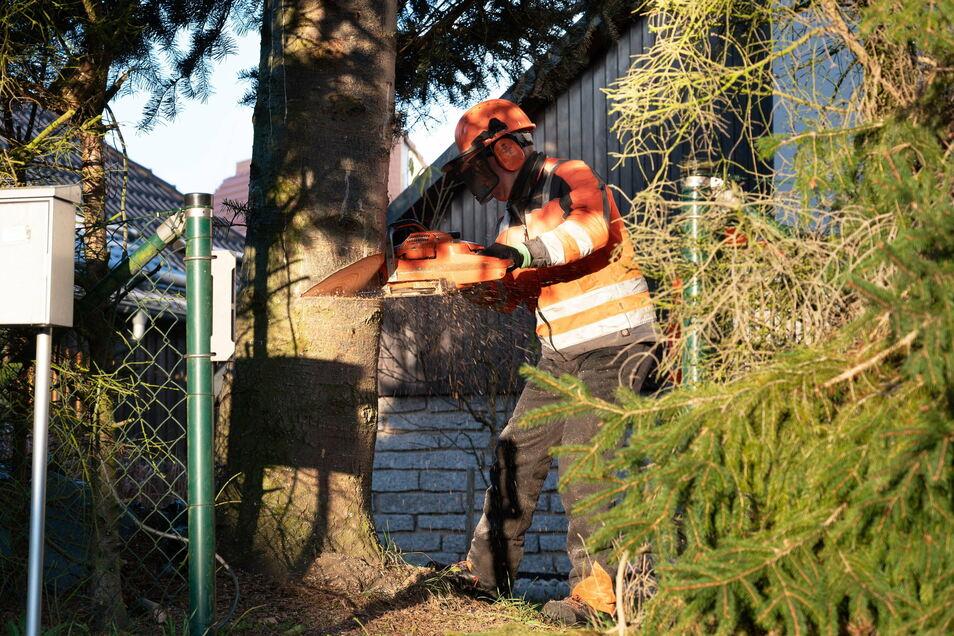 Fachmännisch wurde der Baum am Morgen auf dem Grundstück in Liegau abgesägt.