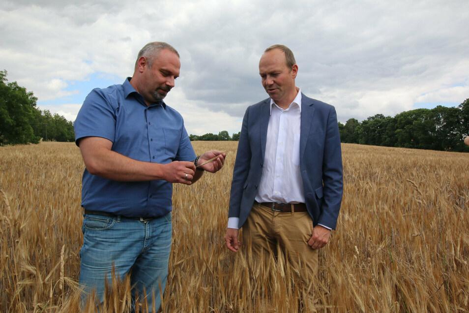 Landwirstschaftsminister Wolfgang Günther (rechts) lässt sich von Torsten Krawczyk zeigen, wie die Ernte dieses Jahr ausfällt. Aufgrund des Frosteinbruchs sind wohl viele taube Ähren dabei.
