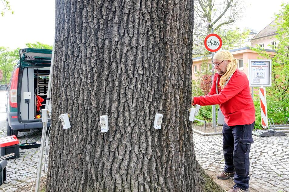 Baumpfleger Andreas Deppner bringt Messgeräte am Stamm an, um diesen auf Hohlräume hin zu untersuchen.