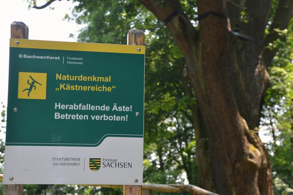 Die Eiche in Girbigsdorf ist ein Naturdenkmal. Schilder warnen vor herabfallenden Ästen.