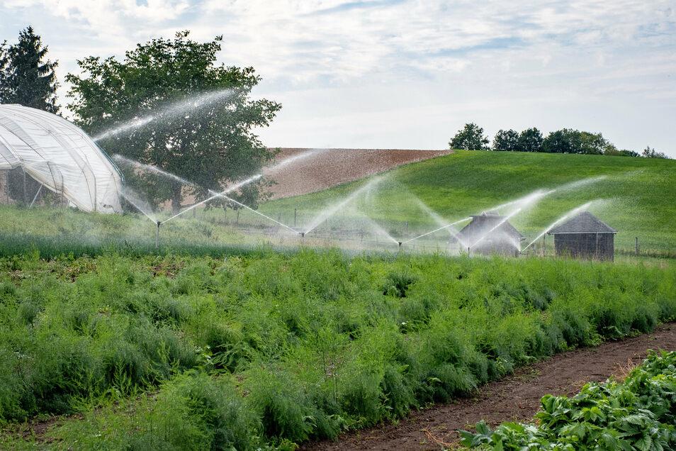 Die Trockenheit im Sommer macht den Pflanzen der Bio-Gärtnerei zu schaffen. Das Wasser reicht nicht für alle Pflanzen.