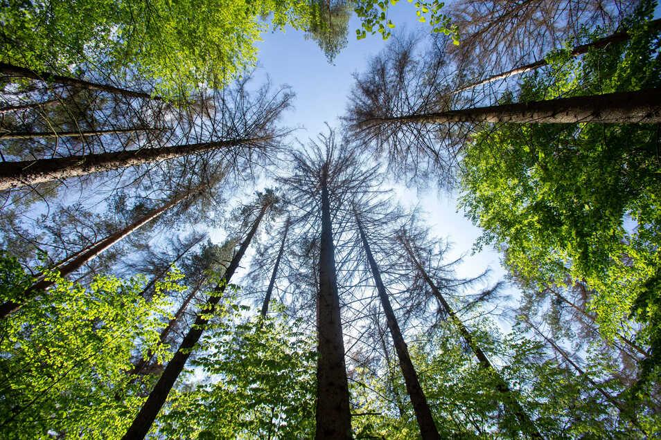 Blick in die Kronen: Der Waldhusche kommt zugute, dass hier schon jungen Bäume nachgewachsen sind. Der Anblick des Erlebnisgeländes wird sich trotzdem deutlich verändern.