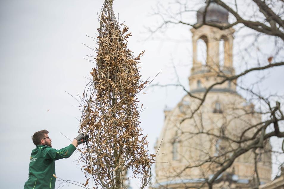 Gärtner Sebastian Fränzel von Schlösserland Sachsen pflanzt mit seinen Kollegen diese Schindeleiche und zwei weitere Bäume im Brühlschen Garten.