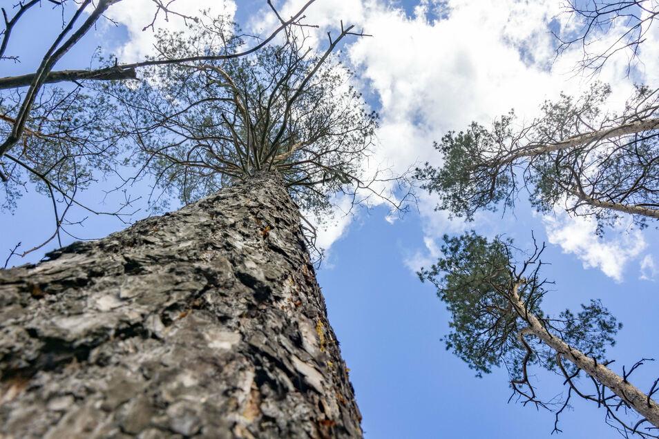 Trockenheit und Borkenkäfer setzen dem Wald in der Gohrischheide zu - wie hier nahe des Wülknitzer Ortsteils Heidehäuser.