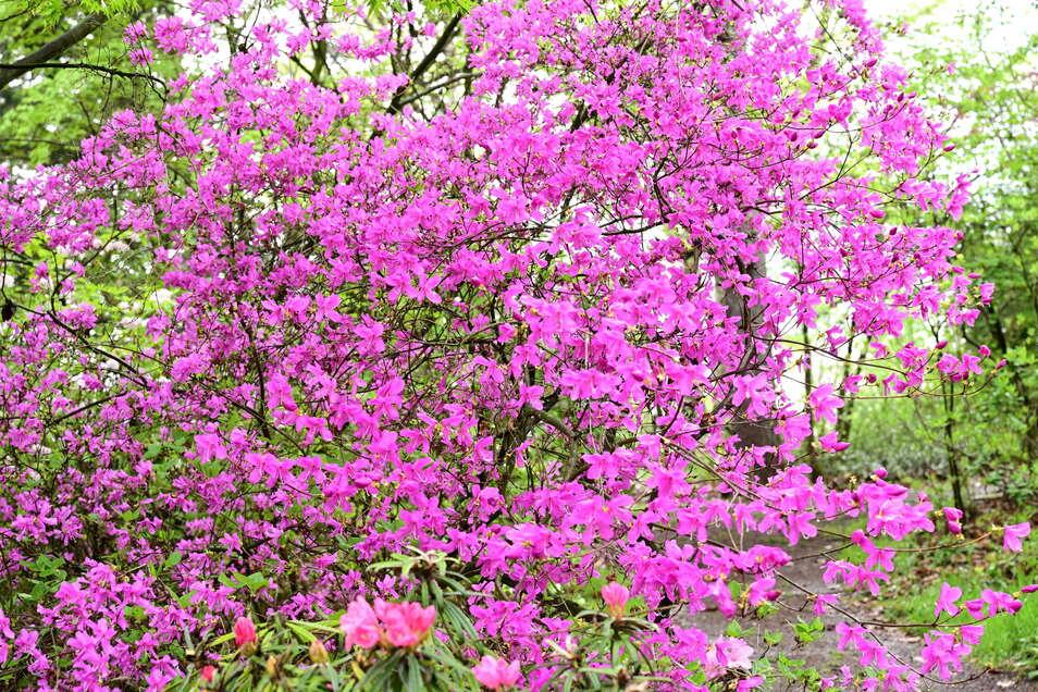 m Forstgarten stehen Azaleen und Rhododendren in voller Blüte – und keiner darf sie sehen.