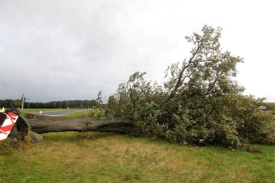 Zwischen Niesky und Ödernitz hat dieser große Baum dem Wind nicht mehr stand gehalten und kippte am Donnerstag auf das angrenzende Feld.