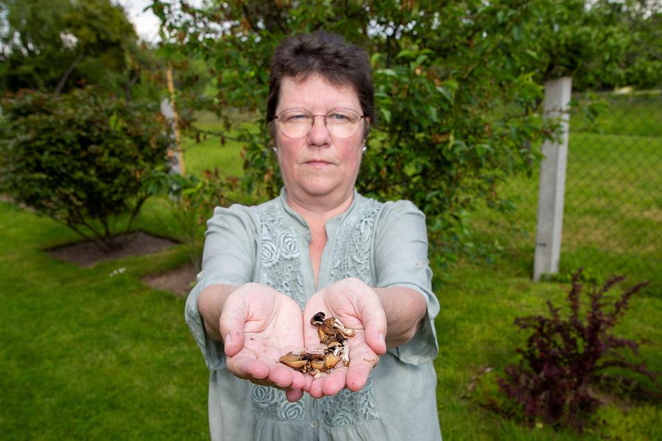 Pilzberaterin Heidrun Wawrok aus Pirna hat mehrere Glimmertintlinge in der Hand. Der Glimmertintling ist allerdings kein Speisepilz.