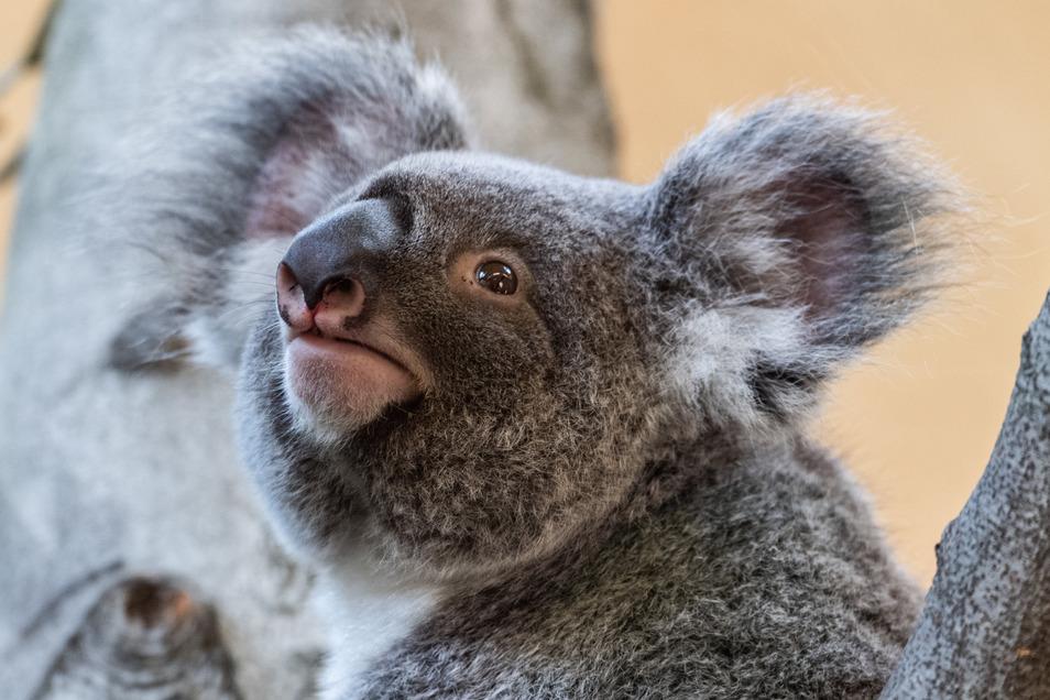 Das Koala-Weibchen Sydney kann vorerst nicht mehr im Prof. Brandes-Haus besucht werden.