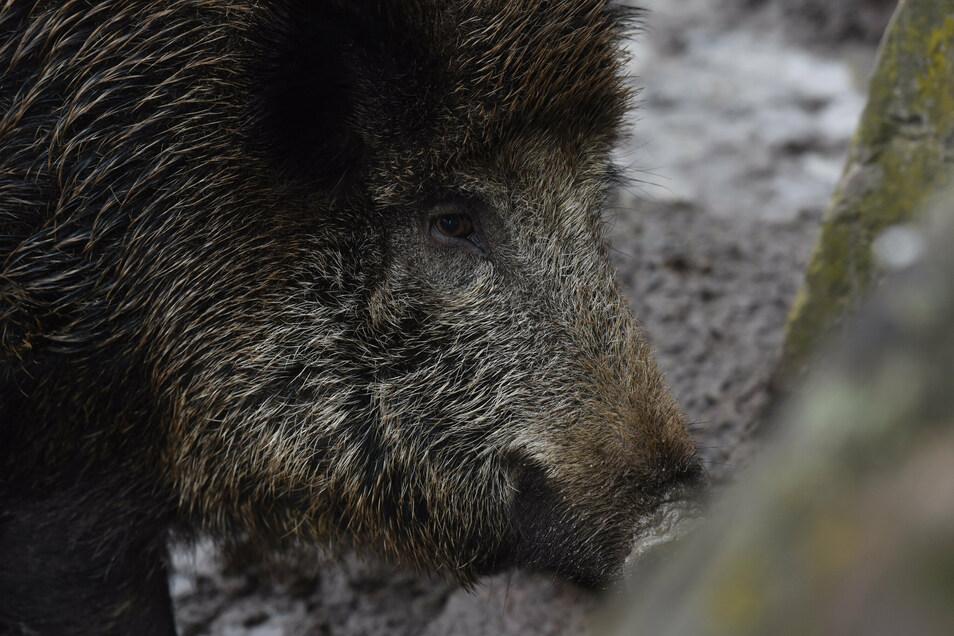 Mit ASP infizierte Wildschweine sind keine Gefahr für den Menschen, aber eine große für ihre Artgenossen.