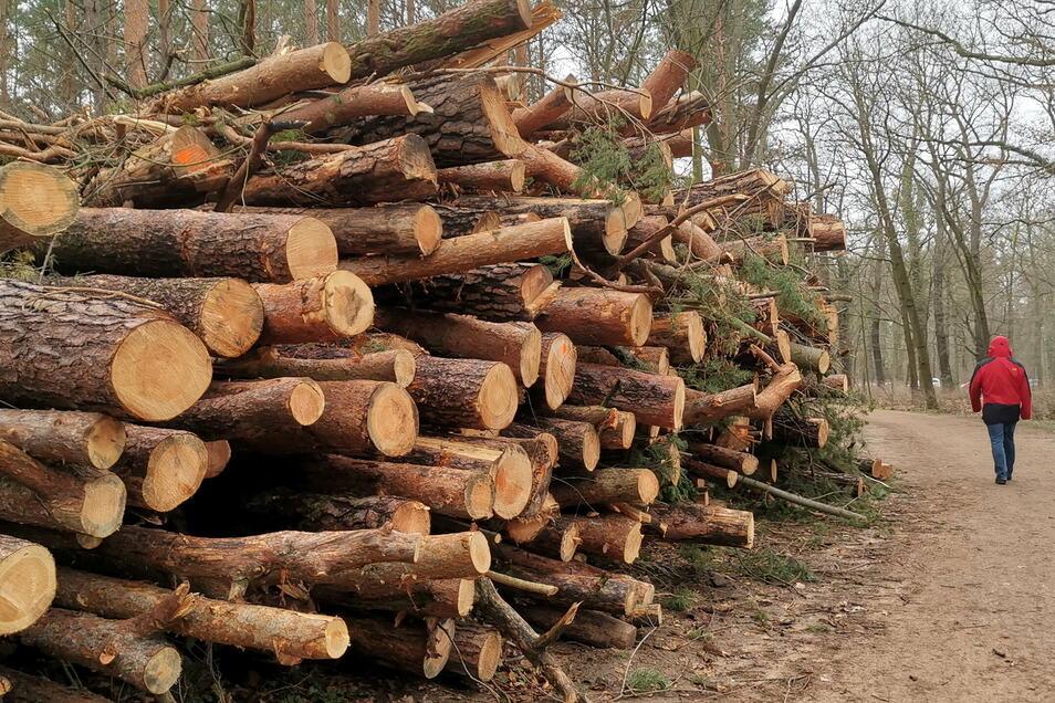Auch große stattliche Bäume müssen in den nächsten Tagen im Waldpark Blasewitz fallen, weil sie nicht mehr verkehrssicher sind.