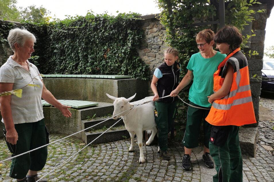 Eingefangen: Mitarbeiterinnen der Kommunalen Dienste Kamenz gelang es mit viel Geduld, das Tier an den Strick zu legen.