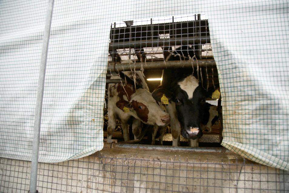 Die Kühe haben jetzt ein Fenster - aber wer hat's gemacht?