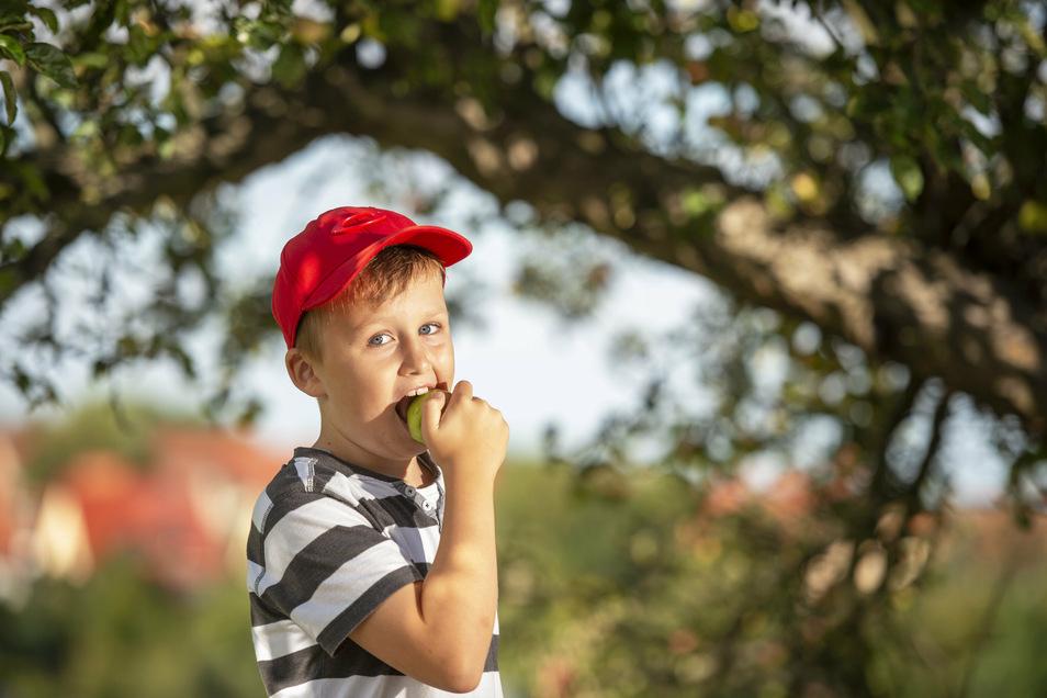 Der Drittklässler Tom aus Bannewitz kostet die Äpfel an der August-Bebel-Straße. Hier ist Naschen erlaubt.