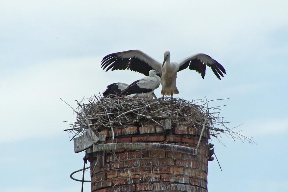 Die Jungstörche auf dem Nest in Großbauchlitz sind jetzt bei Flugübungen zu beobachten. Sie werden bald zum ersten Mal mit den Altstörchen ausfliegen.
