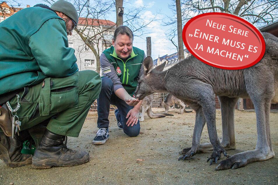 SZ-Redakteur Matthias Klaus  (Mitte) schnuppert in den Beruf des Tierpflegers im Tierpark Görlitz und füttert die Känguruhs und Steinböcke.