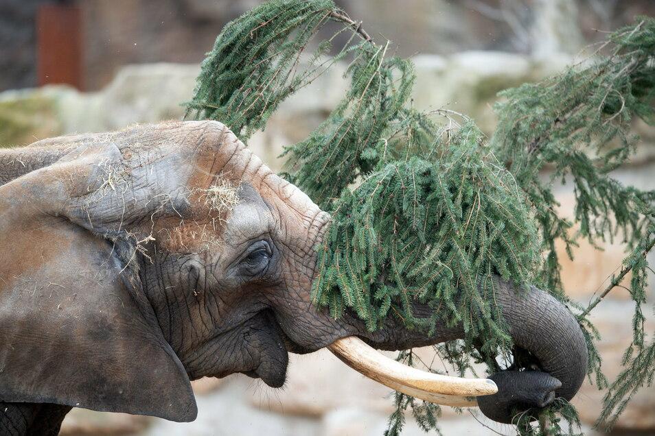 Der Weihnachtsbaum aus dem Dresdner World Trade Center wurde für den Zoo elefantengerecht portioniert.