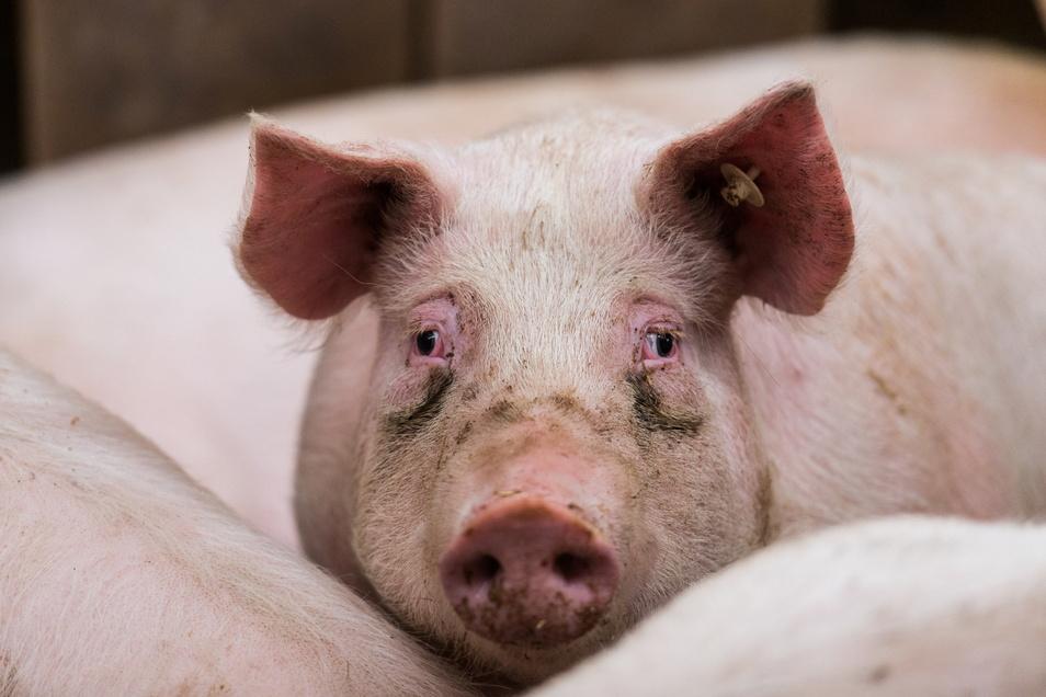 Seit bald einem Jahr grassiert die Afrikanische Schweinepest auch in Deutschland, betroffen waren bislang allerdings nur Wildschweine.