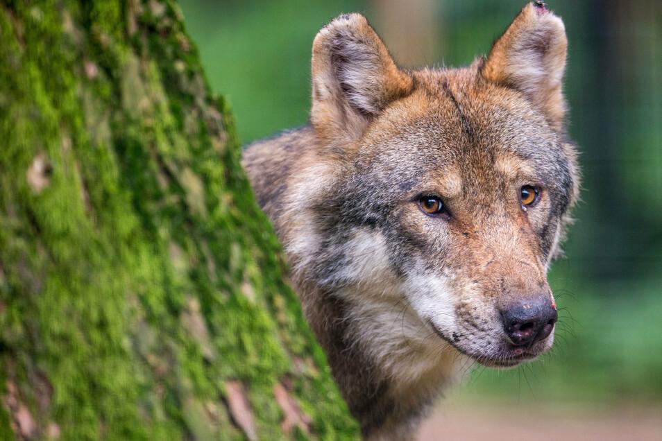 Der Wolf - in der Oberlausitz geliebt und gehasst.