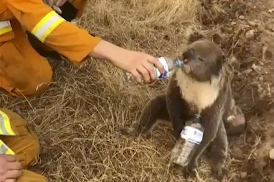 Ein Koala trinkt Wasser aus einer Flasche, die ihm von einem Feuerwehrmann hingehalten wird.