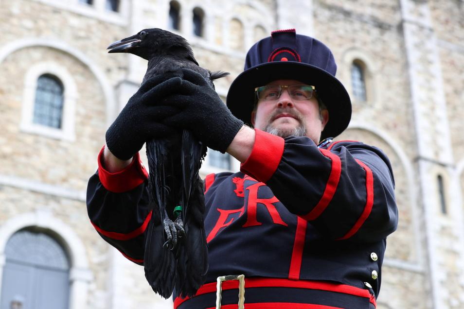 Rabenmeister Chris Scaife hält Branwen in die Höhe, einen der beiden jüngsten Neuzugänge der Raben im Tower of London.