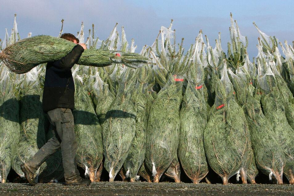 Mit dem Weihnachtsbaum läuft man Gefahr, auch Insekten ins Haus zu schleppen. Zum Beispiel Rindläuse.