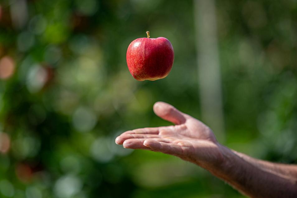 Auf den Plantagen der Obstland Dürrweitzschen AG hat die Apfelernte begonnen. Rund 550 Erntehelfer pflücken die Früchte von den Bäumen.