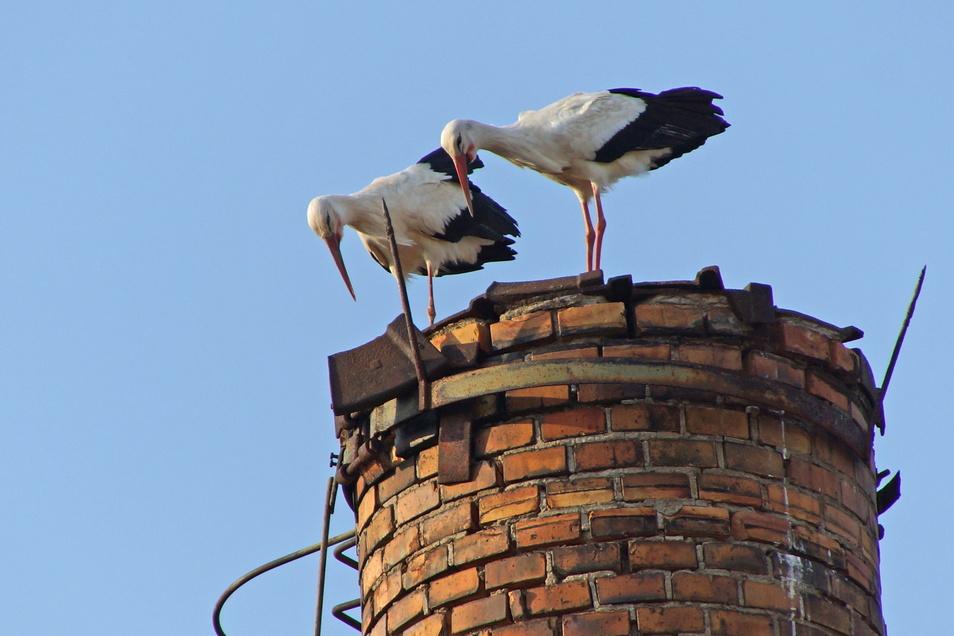 Neugierig schauen die beiden Störche vom Schornstein in Großbauchlitz. Ob sie dort ein Nest bauen, ist ungewiss.
