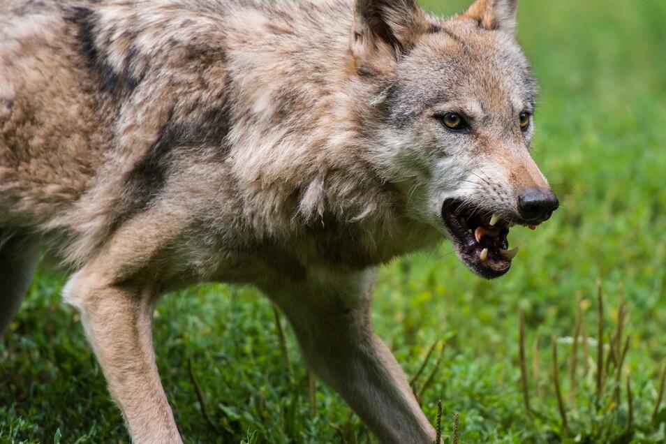 wolf gelaufen was hilft