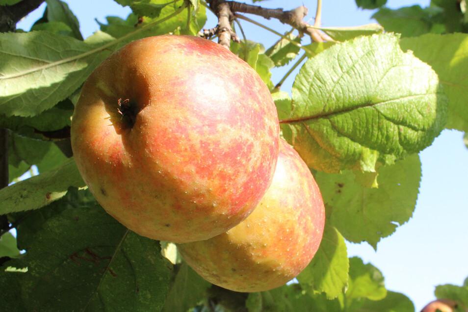Äpfel sind immer noch das liebste Obst der Deutschen, auch wenn ihr Verbrauch von 35 auf 22 Kilo pro Jahr gesunken ist – seit 2017. Pfirsiche, Birnen, Kirschen folgen.