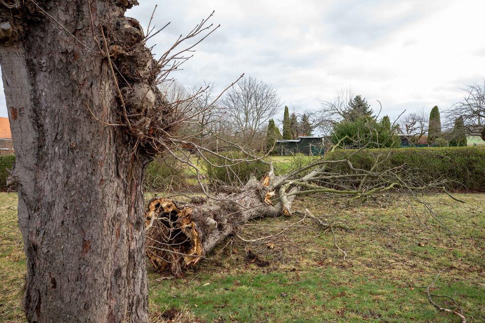 Eine uralte Kastanie auf der Kastanienallee in Lohmen ist durch den Sturm Sabine gebrochen und zu Boden gefallen.