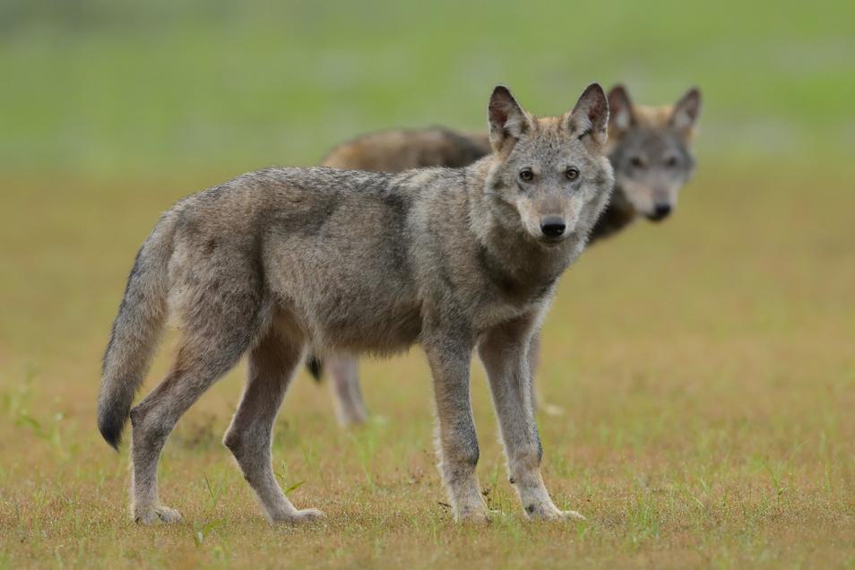 Bei 23 Fällen, in denen im Landkreis Bautzen in diesem Jahr Nutztiere gerissen wurden, ist der Wolf als Verursacher festgestellt worden.