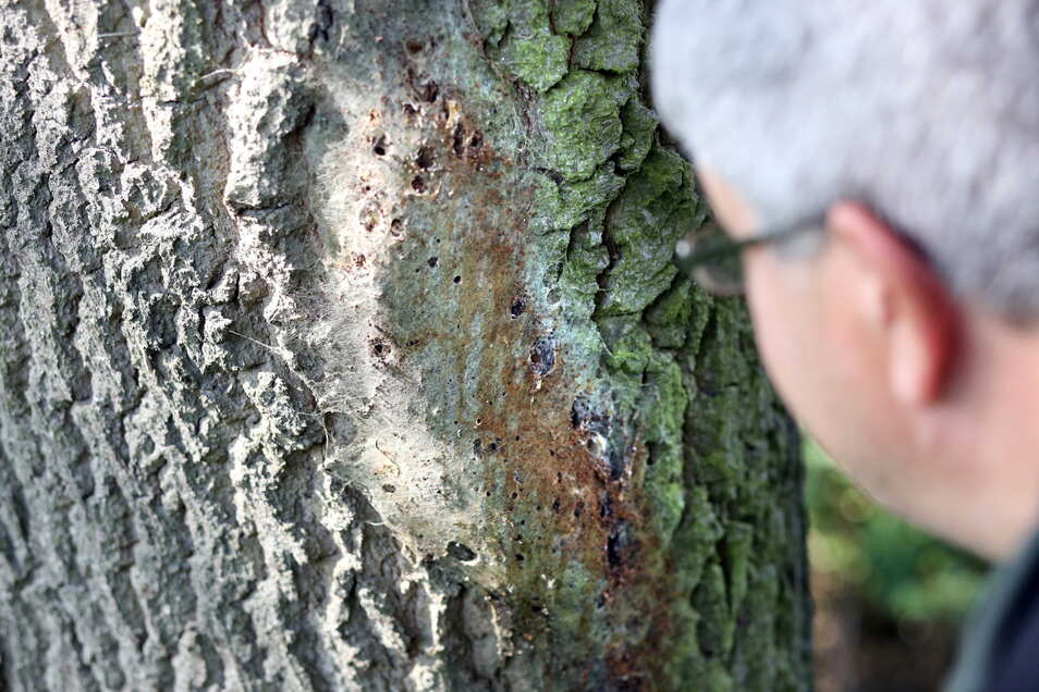 Thomas Sobczyk zeigt im Wald bei Ottendorf-Okrilla das verlassene, aber weiter gefährliche Gespinst von Eichenprozessionsspinnern.
