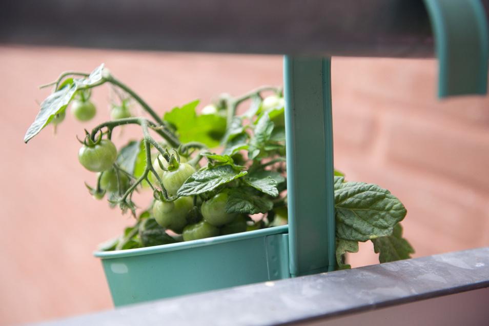 Tomaten sind sehr wärmeliebend. Damit die Früchte im Topf auch reifen, sollten sie auf einem sonnigen Balkon wachsen.