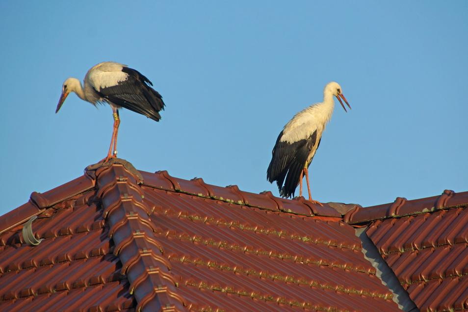Zwei der Döbelner Jungstörche haben seit Mitte der Woche das Nest verlassen. Die stehen auf den Dächern der umstehenden Häuser.