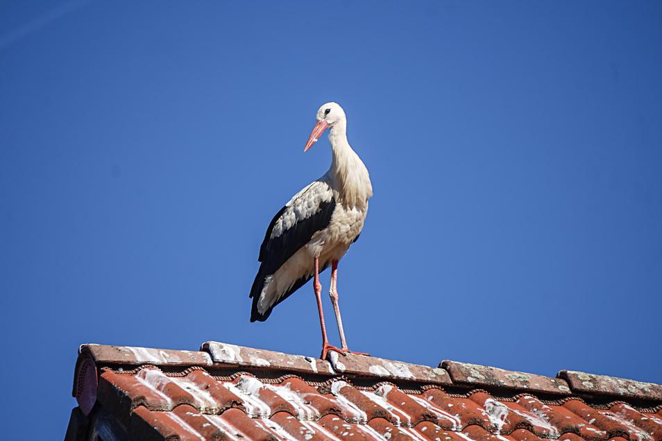 Ein Storch auf einem Hausdach in Wessel.