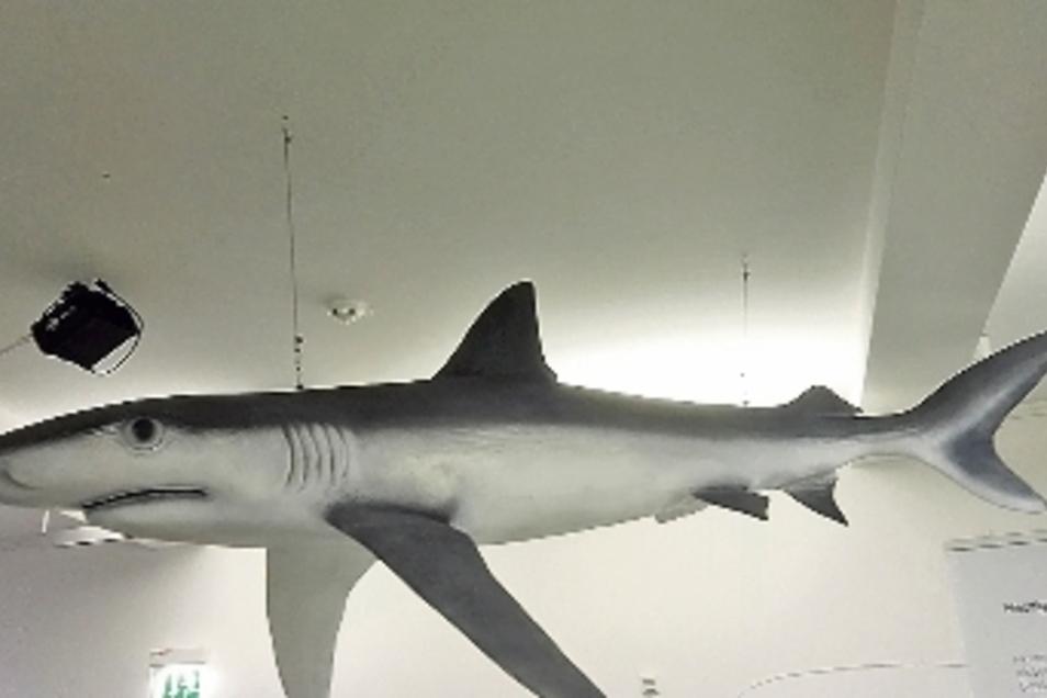 Mehrere Modelle in Originalgröße sind in der Ausstellung zu sehen. Dieser Blauhai ist besonders eindrucksvoll. Aber auch manche Fossilien sind durchaus sehenswert.