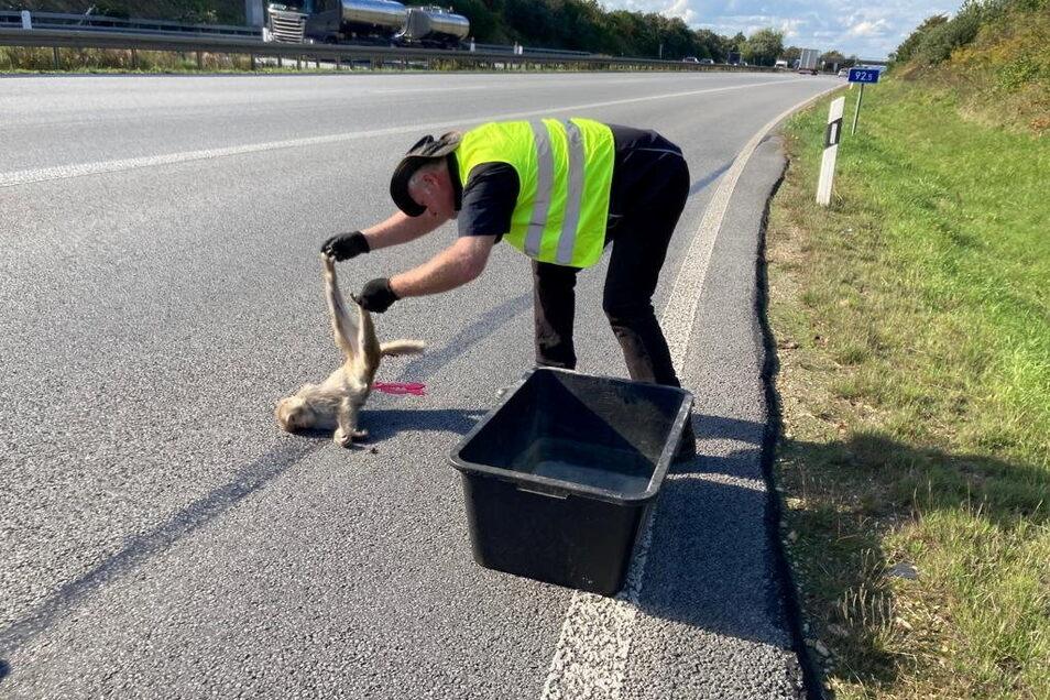 Traurige Pflicht: Der Görlitzer Tierparkdirektor Sven Hammer holt das tote Affenmädchen von der Autobahn ab.