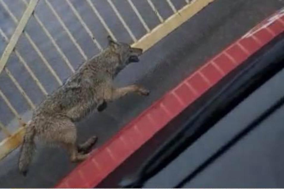 Hier flüchtet ein Wolf vor einem Auto, um sich wenig später durch den Zaun auf das Riesaer Stahlwerks-Gelände zu begeben.