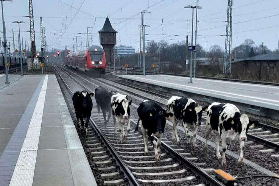 Insgesamt acht Kühe mussten am Sonntagmorgen auf dem Bahnhof Ruhland eingefangen werden.