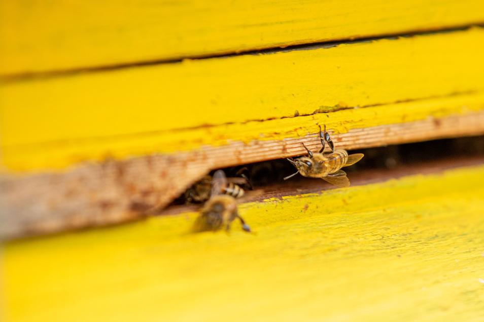 Die Bienen am Eingang eines Bienenstockes bei Neustadt sammeln auch im Spätherbst noch Nektar auf den Blühwiesen. Eigentlich müssten sie Winterruhe halten.