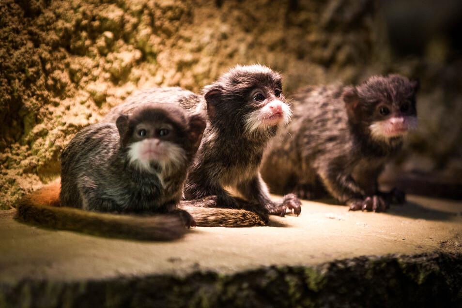 Der dreifache Nachwuchs bei den Kaiserschnurrbarttamarinen im Dresdner Zoo ist äußerst selten.