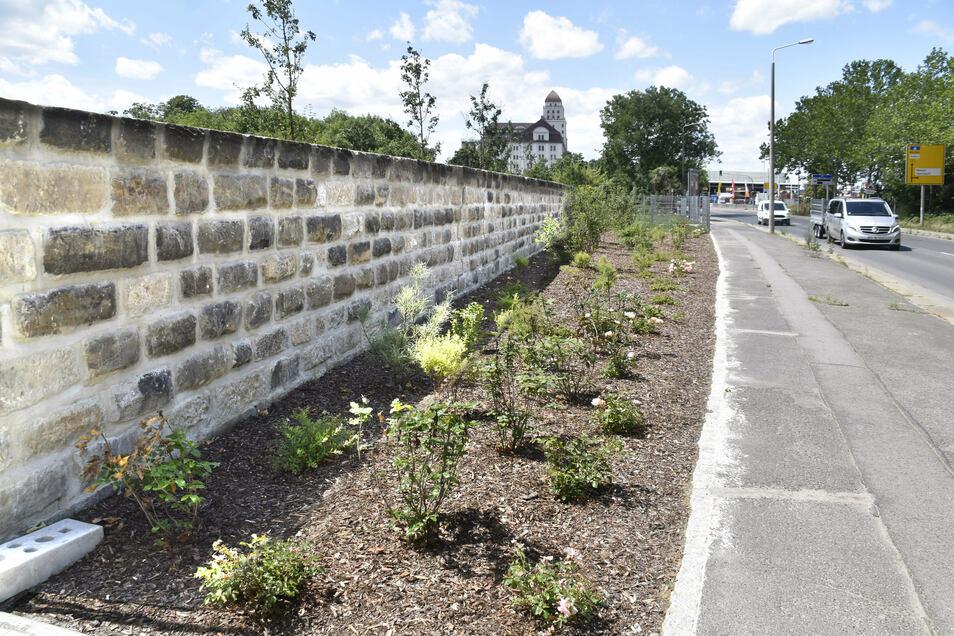 Grünere Friedrichstadt: Auch entlang der Magdeburger Straße sind neue Pflanzen in die Erde gekommen.